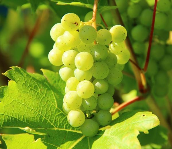 Jak odnosi się sukces – kilka słów osauvignon blanc