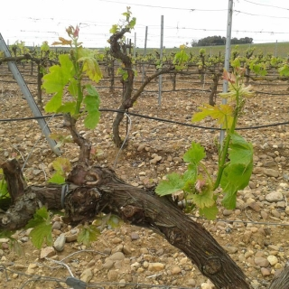 Winorośl w regionie Estremadura