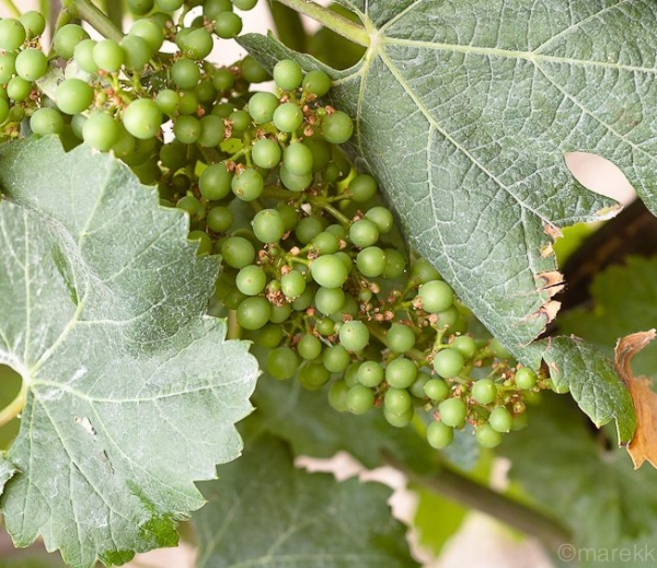 Zdrowie winorośli jest kluczowe