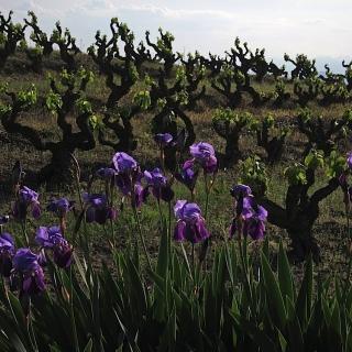 Capcanes - winnica