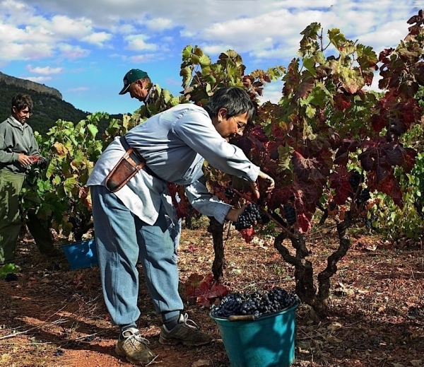 Zbiory winogron wEuropie – 2013
