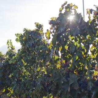 Winnice Sardynii