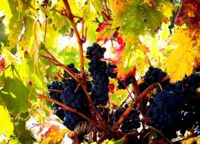 winogrona tempranillo