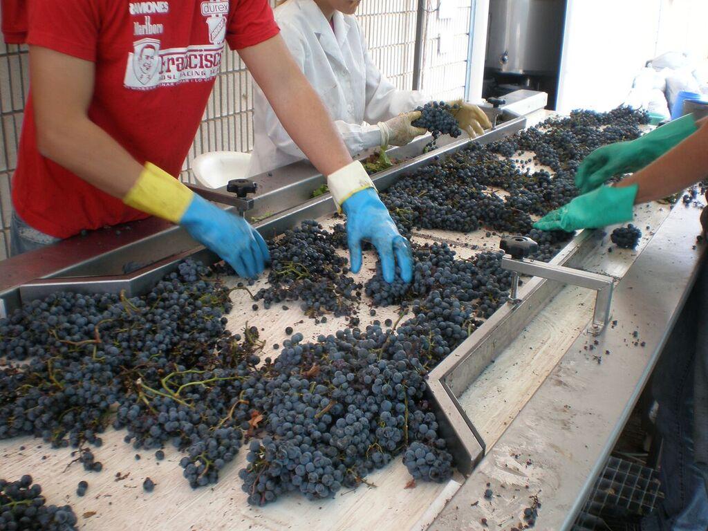 segregacja winogron