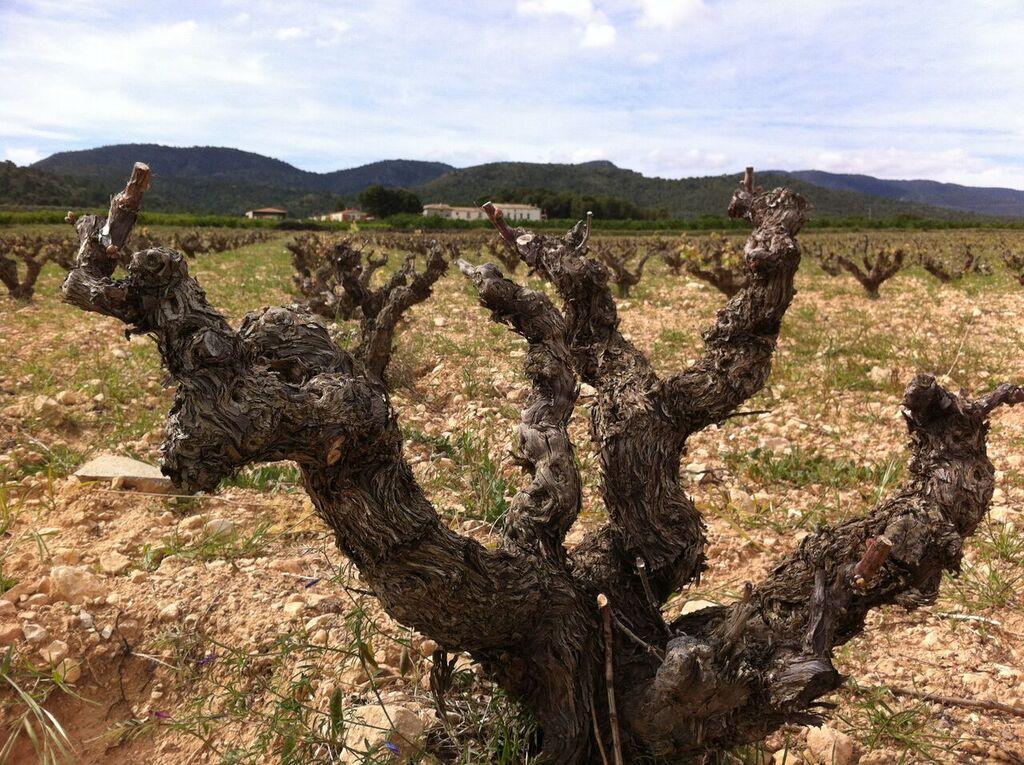 stare krzewy winorośli