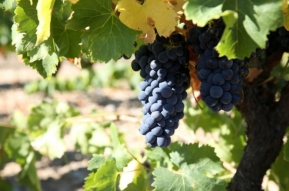 winogrona corbieres