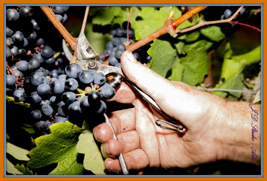 winogrona gaskonia
