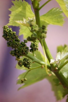 winogrona francja