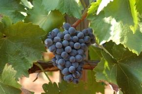 Czerwone winogrona