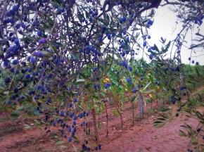 Kwiaty w winnicy