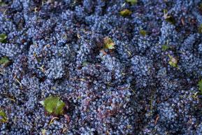 Winogrona po zbiorze