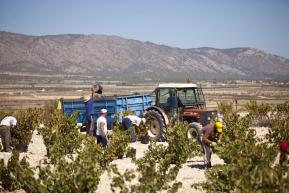 Zbiory winogron Volver