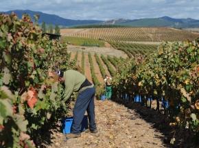 Zbiór winogron Hiszpania