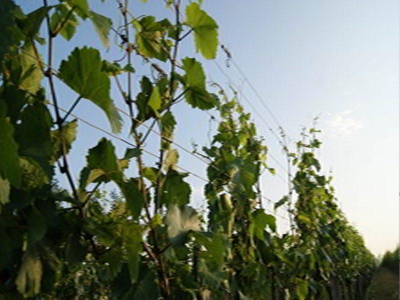 Winnice Austrii