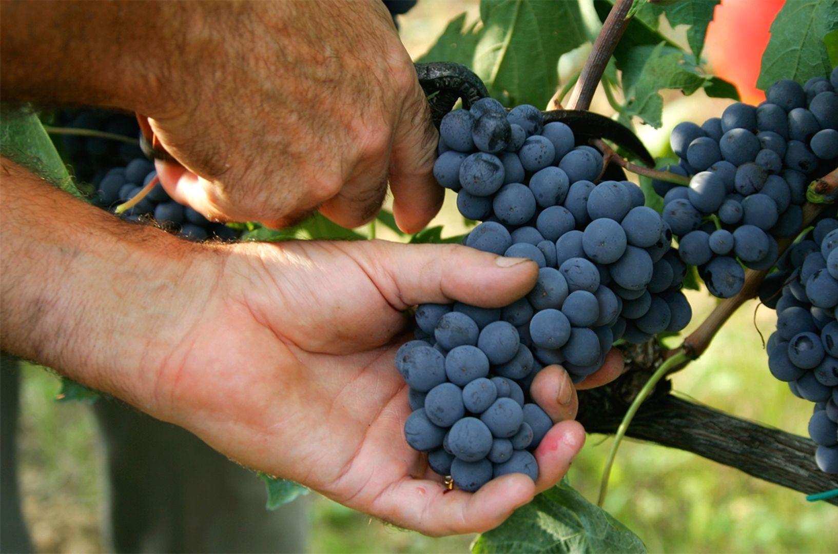 Winogrona Chianti
