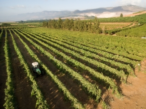 Winnice Tulip Izrael