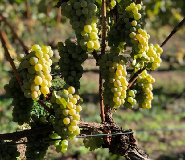 Vinifera pod lupą. Szlachetne odmiany wpolskim winie